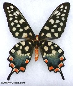 Madagascan Giant Swallowtail Pharmacophagus / Papilio antenor