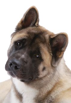 When a child is born in Japan, the family traditionally receives an Akita statue, signifying health, happiness and long life.  Unfortunately, Akitas are still prone to a number of health conditions, including elbow and hip dysplasia, hypothyroidism, bloat and skin conditions.