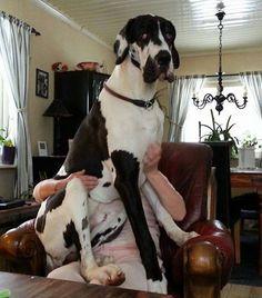 #Great #Dane as a lapdog