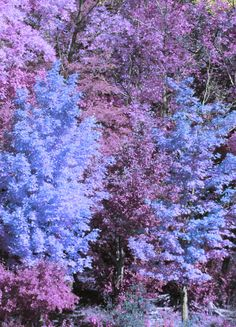 lavender & light blue