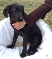 #TEXAS #URGENT ~ Talker is a Spayed #adoptable Labrador Retriever  Hound mix #puppy dog in #Henrietta - 6 pups were apparently dumped near an area euthanizing facility & left to run down a highway. She's outgoing, playful,  dog who loves attention. Her leg is dislocated & has a brace on it tho she'll soon be as good as new. Please refer to each pup by name and the code DWL03052013 when calling.  CLAY COUNTY ANIMAL SHELTER  503 N Carroll St   #Henrietta TX 76365   Ph 940-538-6757