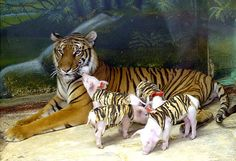 tiger pigs - When tiger mama lost all her babies due to premature birth zoo officials found her getting sicker by the day.  They substituted little piglets for tiger cubs and mama has been restored to good health!