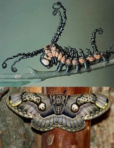Brahmin caterpillar and moth (Brahmaea wallichii), found in India, China, and Japan. The moth has a wingspan of around 6 inches.