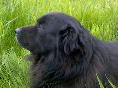 Chow lab puppy, Dalmatian tongue. What!? | Pets | Pinterest