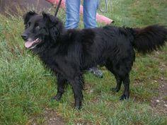 ROCKY est un chien croisé berger belge , de toute beauté , avec ses longs poils noirs soyeux ! Il n'est pas très grand , contrairement à l'effet que peuvent donner mes photos et il ne doit peser qu'à peine 20 kgs .  Il est bien malheureux en box , lui aussi !!!  Si vous avez un chat , Rocky n'est pas pour vous ....mais si vous avez des tonnes d'amour à lui donner ....il sera preneur !! nad.lachaud@wanadoo.fr                                           04 75 68 71 75  et   06 17 03 17 77