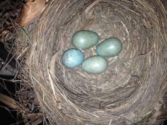 These blackbird eggs have been spotted at Attingham Park, Shropshire 26 May 2014