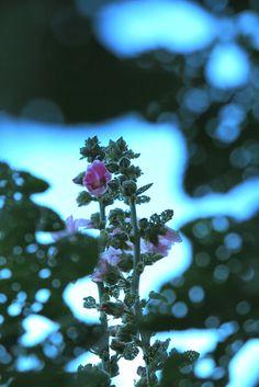 Rose trémière de Provence (France).