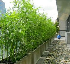 Bamboo and fountain grass in concrete planters on roof terrace