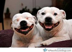 Love these smiling pit bulls!
