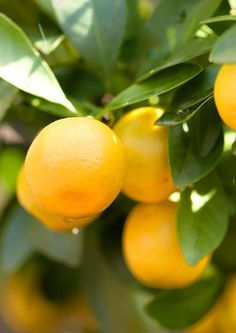 Florida gardening 101:  How and when do I fertilize citrus trees?