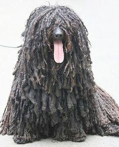 puli, anim, dog breed, germany, hot days, berlin, dog art, coat, hot dogs