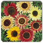 Organic Evening Colors Mix Sunflower