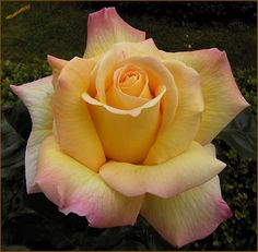 Peace rose (smells like lemonade)