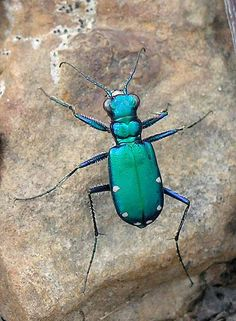 Six-Spotted Tiger Beetle (Cicindela sexguttata)  by Slomoz: Commonly found in the woods of North America (from Minnesota and Ontario to Kentucky) they are characterized by overlappin white mandibles.