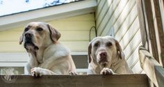Spring Leisure #Labradors with Brody & Saban | It's a Lab Thing