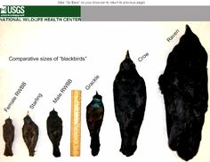 "Crows Ravens:  #Corvid Identification Reference: Comparative sizes of various ""black birds"" (Starling, Red-Winged Blackbird, Grackle, Crow, Raven, etc.)."
