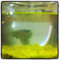 #Office #Tour 1 - Jimmy Jaws the Betta Fish