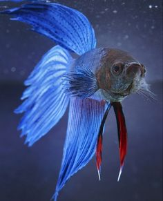 Beautiful blue fish