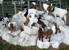 Goat kids playing on rocks.   Great for keeping goats feet trimmed  #goatvet