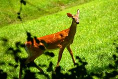 As the deer pants for the water brooks, so pants my soul for You, O God. ~ Psalm 42:1 (Photo: Doe seen near the chapel at The Cove.)