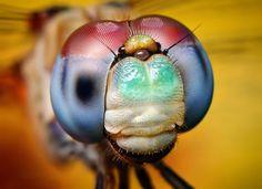 blue faced meadow hawk dragon fly