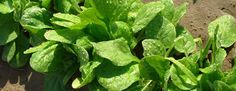 Learn how to grow spinach - a superfood that helps protect against heart disease, age related memory loss and...