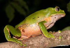 Monkey frog (Phyllomedusa bicolor) - Tambopata Rainforest