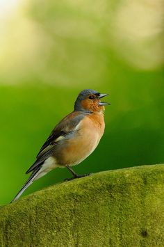 Are you hoping to see chaffinches during your #RSPB Big Garden #Birdwatch?