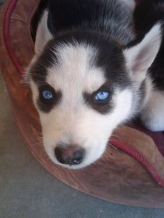 Siberian Husky puppy named Skywalker with incredibly beautiful blue eyes.