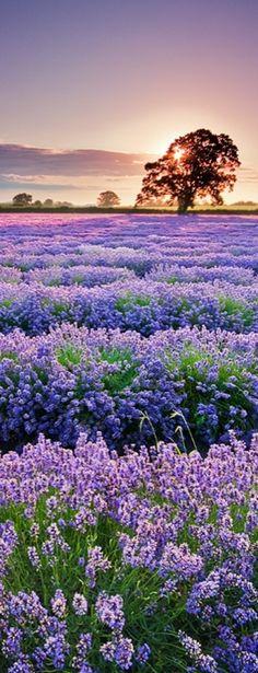 Sunrise over the lavender field