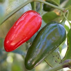 Add some heat to your salsa with fresh Jalapeno Peppers. More grow a salsa garden: http://www.bhg.com/gardening/vegetable/vegetables/grow-a-salsa-garden/?soscrc=bhgpin080913jalapeno=5