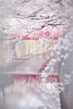 Cherry blossom, Meguro River, Tokyo, Japan