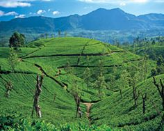 Nuwara Eliya Tea Plantations