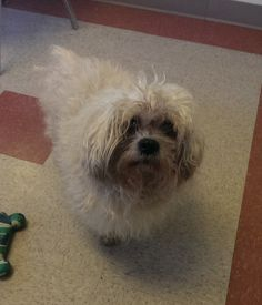 Poor Bear is a 13 year old shih tzu mix who was recently surrendered to the shelter.  He wants nothing more than a cozy bed to curl up on and deserves this simple pleasure at his age!  Bear will be getting a makeover soon and is sure to look like...