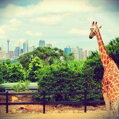 Taronga Zoo #Sydney #Australia    @Jessica Nicole instagram