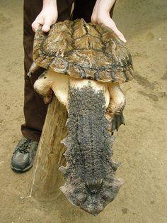 TORTUGA MATAMATA, Y aquí tenemos otra tortuga extraña, ideal para que te cuide la casa, es la tortuga matamata. Es inconfundible. Tiene un caparazón marrón o negruzco de 45 cm de largo. El plastrón es estrecho, angosto, recortado adelante y marcadamente echado hacia atrás y en el macho es cóncavo. La cabeza es triangular, aplanada y alargada. Tiene numerosas protuberancias en la piel, dos bigotes y dos filamentos adicionales en el mentón. El hocico es alargado y tubiforme.