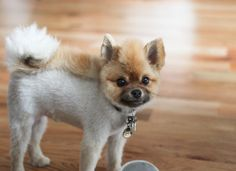 Pomeranian Lion Cut Pomeranian haircut on
