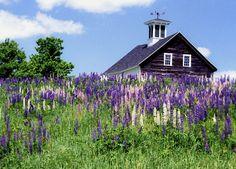 Lupines barn, flower