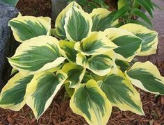 Caring for Your Hostas