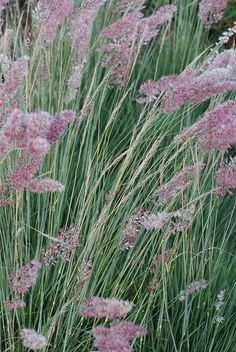 ✿Ornamental Grass✿