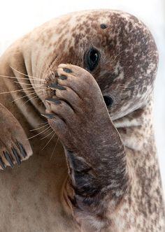 Shy Seal by Henrik Vind