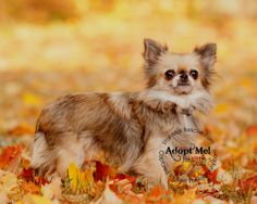 Zenni is an adoptable Chihuahua Dog in Wooster, OH.   Zenni is an adorable long hair Chihuahua that came from a puppy mill bust in Shelby Ohio.  There were over 280 Chihuahuas in a 900 square feet bui...