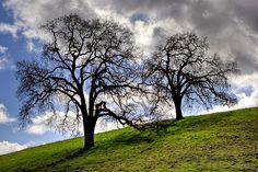 <3 oak trees...
