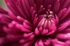 How to Grow Mums From Seed thumbnail