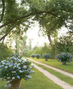 Endless Summer blue hydrangeas in big pots... love!