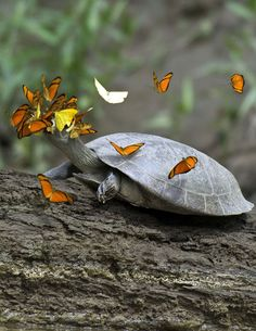butterflies fighting to drink the tears of a tracajá turtle in the peruvian amazon. sodium is a scarce resource in the amazon, so the butterflies have learned to get it where they can. photo jeff cremer