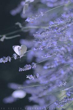 ~lavender~  #lavender  #butterflies