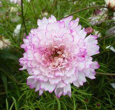 cosmos bipinnatus, beauti garden, cosmobicolor betti, bipinnatus bicolor, anni annual