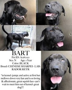 DEAD DOG WALKING!!! BART DIES IN THE MORNING - PLEASE HELP!!! BART - A1260120  NEUTERED 1 Year BLACK CHINESE SHARPEI - LABRADOR RETRIEVER Kennel: 340 *in kennel- jumpy and active at first but mellows down very fast and is so loving & affectionate, great squish face- can't wait to meet him out of kennel- great dog!!! OC Animal Care 714-935-6848. ADDRESS 561 The City Drive South- Orange, CA 92868