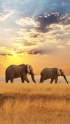 Africa, Elephants, Sunset